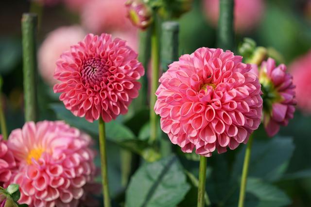 夏と言えば、ダリアと言うくらい、夏らしい花です。 花名のダリアは、スウェーデンの植物学者アンデシュ・ダールの名前から付けられました。