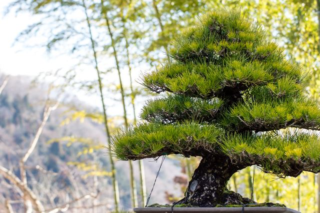 Magnificent A Pattern Tree Of Black Pine That Tails For The First Timebonsai Wiring Digital Resources Funapmognl