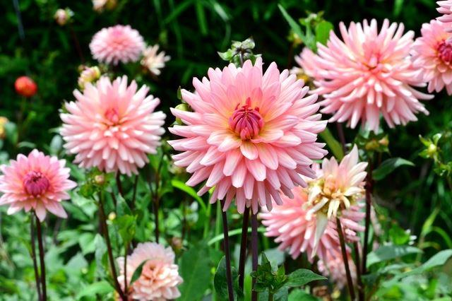 ダリアは、大きくて豪華な花を付ける品種もあったり変わった色もあるなど最近とても人気となっている花です。 夏の切り花としても明るくて豪華で人気の花です。