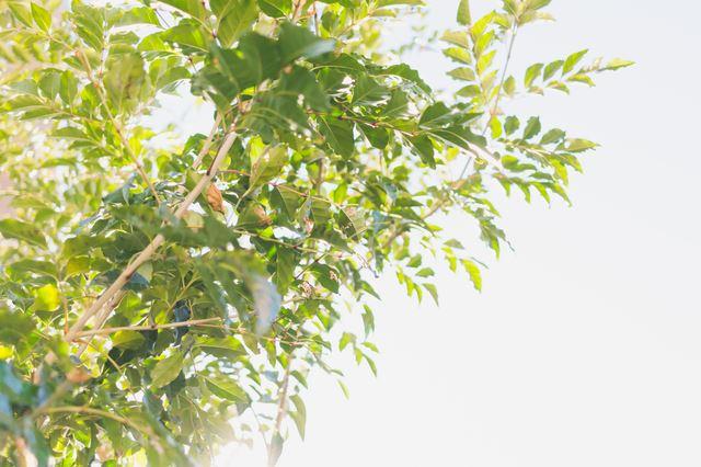 シマトネリコ」はシンボルツリー...