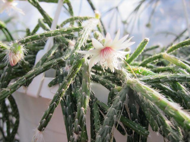 リプサリスは室内栽培に最適 丈夫で育てやすいリプサリス ガーデニング 趣味時間