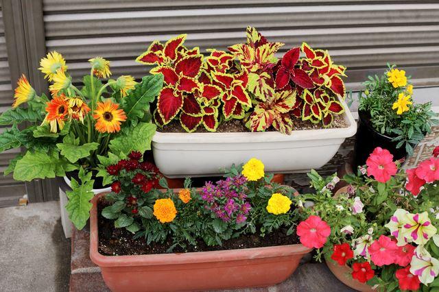 そんな理由もあり、いろいろな植物と一緒に寄せ植えで育ててみたくなるのではないでしょうか。黄色やオレンジなどの色があるマリーゴールド