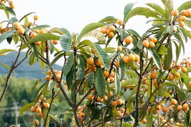の びわ 育て 木 方 の びわの木に実がなるまで。生長の流れや栽培方法を解説!|剪定110番