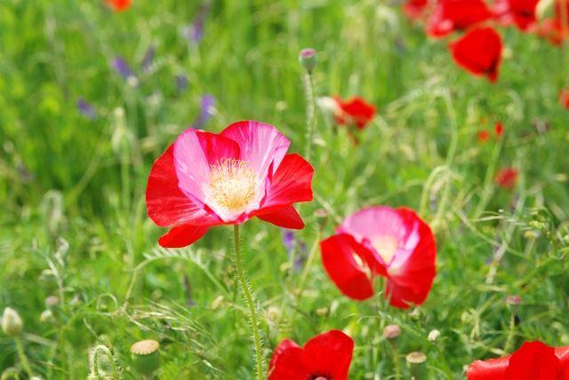 ケシの花とポピーの花はどう違うのでしょうか。ケシの花を育ててみたいと思っている人のために、その違いや育てて大丈夫な