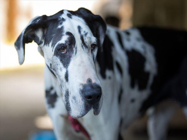 Image result for 犬 Great Dane 悲しい